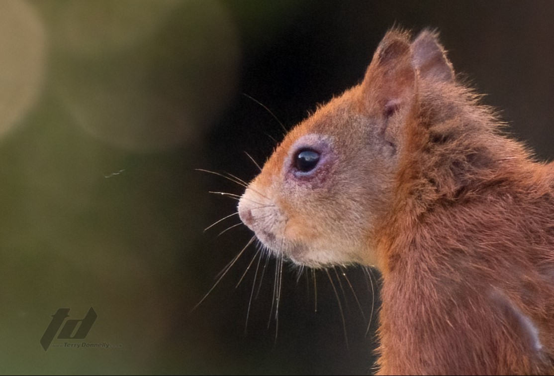 Injured red squirrel spends a month recovering at specialist RSPCA centre