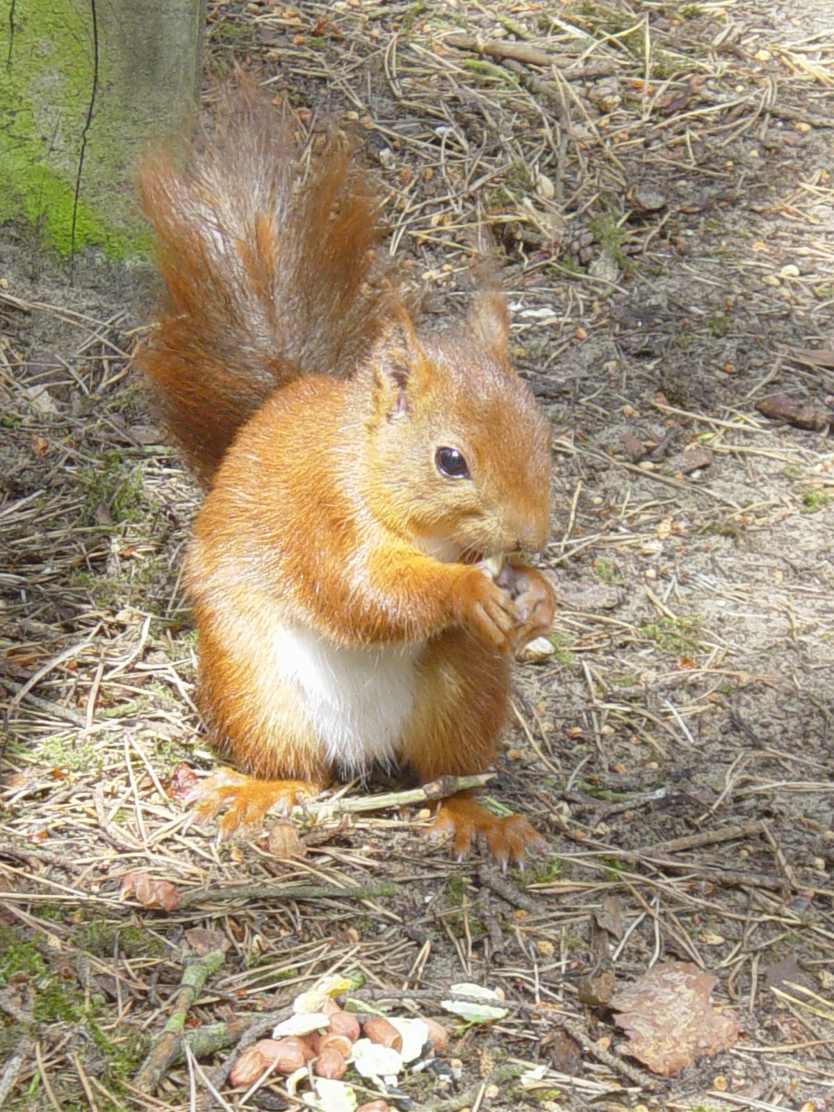 Fears deadly squirrel pox is back in Formby
